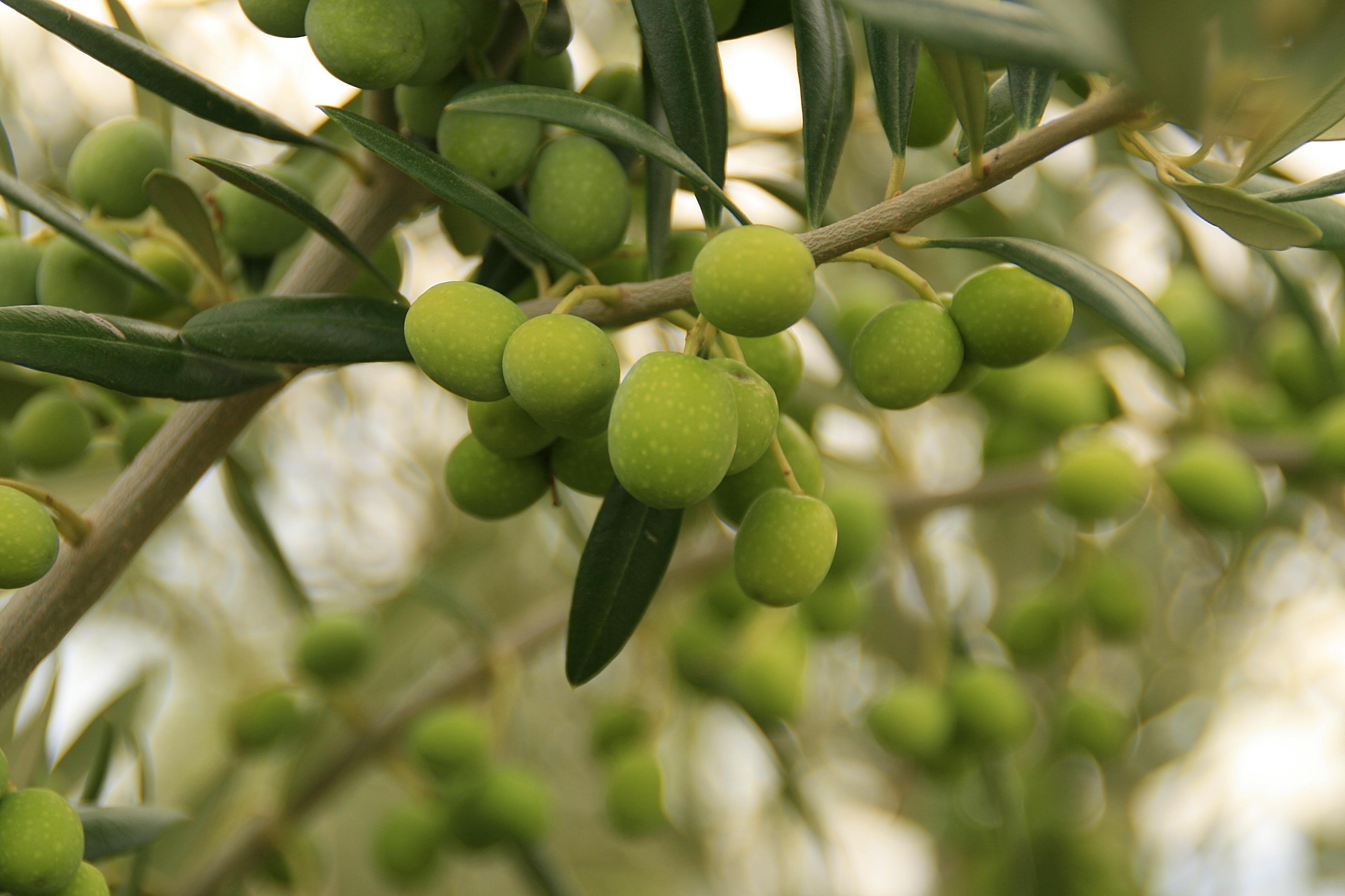 El aceite verde, el aceite de oliva que más gusta