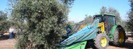 Aceite de oliva. Métodos de recogida de la aceituna